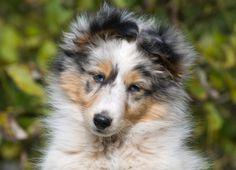 Blue Merle Rough Collie puppy. <3