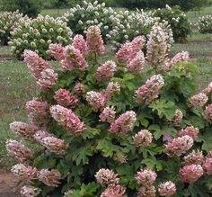 Ruby Slippers Oakleaf Hydrangea - Monrovia - flowers change from white to pink, leaves turn red in fall
