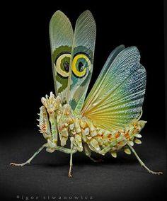 flower mantis . photo igor siwanowicz
