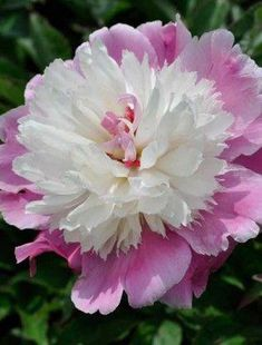 Peonies are the most glamorous of perennials with big, beautiful, often scented flowers that are good for cutting. Exotic Flowers, Amazing Flowers, Colorful Flowers, Beautiful Flowers, Purple Flowers, Peonies Garden, Peony Flower, Cactus Flower, Flower Pictures