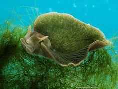 L'Élysie Émeraude, le seul animal au monde capable de faire de la photosynthèse