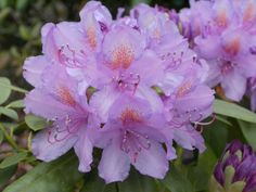 RhododendronCatawbienseGrandiflorum_03.jpg (1200×900)