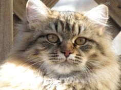 Gigi (now retired) ~ Mystic Melody Siberian Cats