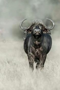 Buffalo - Kruger National Park