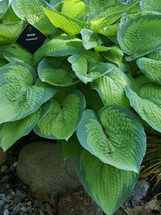 Hosta Inniswood (Full Shade and Very Slug Resistant) Deeply textured leaves of gold-green