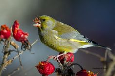 Greenfinch, Finches, Europe, Birds, Photography, Animals, Photograph, Animales, Animaux