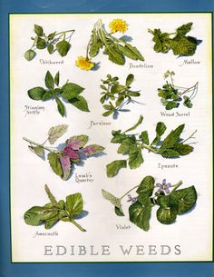 cooks illustrated: edible weeds. WOOHOO!!! Lawn care tastes great!!