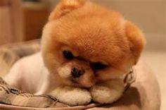 Boo- the worlds cutest dog