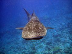 18 novembre 2013: Vakarufalhi, Maldive. Eccoci a tu per tu con il pesce più grande del pianeta: lo squalo balena in tutta la sua imponenza!
