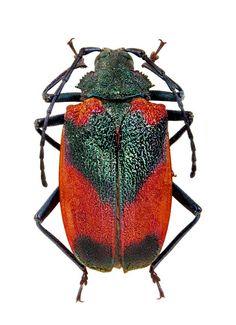 Hileolaspis aurata P