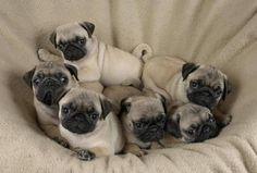 Nest o' pug puppies