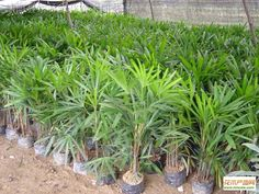 Rhapis excelsa.      We are professional supplier. Trust depends on specialty. If you like them, please feel free to contact me. Email: sale@gdspeedling.com Mob & Whatsapp: +86 13600022661