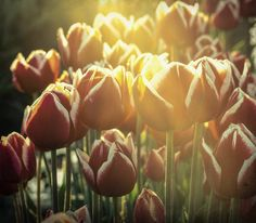 Red tulips in early morning - faded. Fine Art Flower Photography Print for Home Decor Wall Art. A group of red blooming tulips with artistic texture and vintage look. ~~ SELECT DESIRED SIZE USING THE OPTIONS BUTTON ABOVE ADD TO CART. Available in: 5x7, 8x10, 11x14, 12x18, 16x20, 20x30, 24x36 prints.