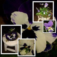 Mooie violen bij Vlijtig Loesje in Alphen aan den Rijn