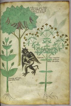 "Tractatus de Herbis (ca.1440) Selections from a beautifully illustrated 15th century version of the ""Tractatus de Herbis"", a book produced to help apothecaries and physicians from different linguistic backgrounds identify plants they used in their daily medical practise. No narrative text is present in this version, simply pictures and the names of each plant written in various languages. Miniature of plants and a demon: the herb ypericon, supposed to repel demons."