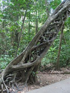 A fig tree, a parasitic species, after its roots have strangled the host tree that has now rotted away, offers a look-through appearance; in the Daintree National Park. Le Baobab, Printable Images, Weird Trees, Dame Nature, Magical Tree, Unique Trees, Old Trees, Tree Roots, Nature Tree