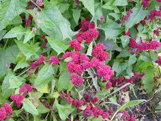 Liste de légumes et plantes potagères à semis spontané ! Ces plantes constituent le pilier de base d'un jardin potager en permaculture