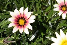 white_and_pink_african_daisy_blooms_190151.jpg (425×283)