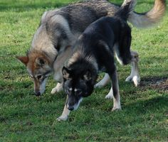 The Tamaskan Dog is a crossbred dog of sleddog type, originating from Finland…