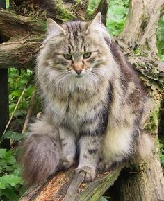 Norwegian Forest Cats date back to Viking times when Vikings among others used them to keep ships free from rats and mice. The climate was tough, which meant that only the strongest and most robust cats survived. Beautiful Cat Breeds, Beautiful Cats, Maine Coon, Cute Cats, Funny Cats, Adorable Kittens, Flea Shampoo For Cats, Serval Cats, Herding Cats