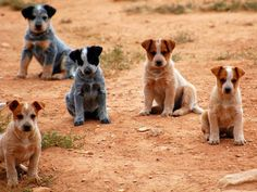 Australian Cattle Dog                                                                                                                                                                                 More