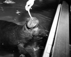 Florida Memory - Snooty the manatee being fed at South Florida Museum - Bradenton, Florida South Florida Museum, Bradenton Florida, Manatees, Old Florida, Old Houses, 1970s, Paradise, Anna, Old Things