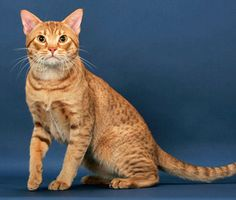 The Ocicat has the look of a wildcat, but he's a domestic breed. Get more facts on this intelligent, playful cat breed to see how he'll fit in with your family.