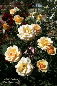 anne harkness rose - Google Search
