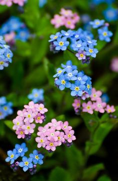 The Forget-me-not – The Variety Of Myosotis Sylvatica – Fresh ...