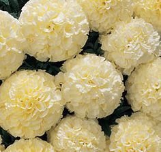White Marigolds ~have never seen these before!