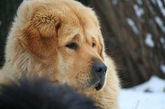Lhamo Tibetan Mastiff, Dogs, Animals, Animales, Animaux, Pet Dogs, Doggies, Animal, Animais
