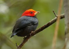 Foto cabeça-encarnada (Ceratopipra rubrocapilla) por Pedro Ávila | Wiki Aves - A Enciclopédia das Aves do Brasil