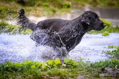 Dogtraining Dog Training, Labrador Retriever, Dogs, Animals, Labrador Retrievers, Animales, Animaux, Dog Training School, Animal Memes