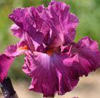 Iris Ever After