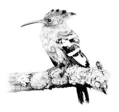 A look into my world: my passion for nature through photography and art. Birds are the predominant subject as I find them beautiful and fascinating. I draw in pencil and paint in oils. Bird Pencil Drawing, Pencil Art Drawings, Hoopoe Bird, Scratchboard, Pebble Painting, Animal Kingdom, Art Projects, How To Draw Hands, Nests