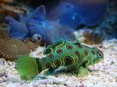 spotted+mandarin+fish by maryellen Underwater Creatures, Ocean Creatures, Underwater Life, Underwater Animals, Poisson Mandarin, Mandarin Fish, Marine Aquarium, Marine Fish, Beautiful Sea Creatures