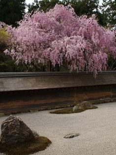 Cherry blossoms at Zen garden of Ryoan-ji Temple, Kyoto, JAPAN