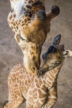 baby female Masai giraffe