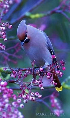 This lovely bird photo features one of my favorite birds, the cedar waxwing. Cute Birds, Pretty Birds, Beautiful Birds, Animals Beautiful, Cute Animals, Exotic Birds, Colorful Birds, Exotic Animals, Colorful Animals