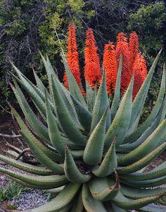 Aloe Succotrina - Orange Flowers On Aloe Vera Stock Image - Image of succotrina, orange: 17646195 Orange Flowers, Hedges, Facades, Cactus Plants, Aloe Vera, Shrubs, Royalty Free Stock Photos, Exterior, Garden