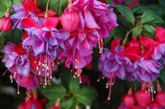 fuchsia #flowers fairy tutus