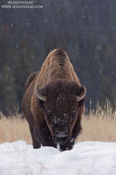 Lamar Valley, Yellowstone National Park |  Wyoming, USA