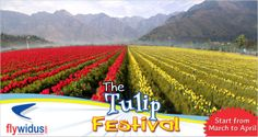 Tulip Festival Starting From March to April Domestic Airlines, Lowest Airfare, March Month, Tulip Festival, Srinagar, Main Attraction, Online Travel, Travel Companies, Upcoming Events