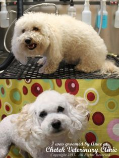 Bichon Frise groomed in Kawaii Grooming style (a.k.a. Japanese, Asian Fusion, Asiatica) by Pet Groomer Anneliese Vaini at Chetek Veterinary Clinic, Chetek, WI