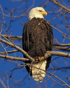 National Audubon Birds - Bald Eagle (Haliaeetus leucocephalus) - so majestic