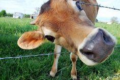 Curious Farm Cow