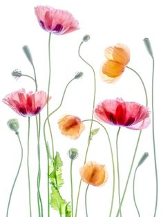 Poppies 1 Poster in der Gruppe Poster / Botanik bei Desenio AB Poppies by Mandy Disher - Photo 159383019 - by MandyDisher Still Life Photography Watercolor illustrations picture Magnolie by LISIZA Watercolor Cards, Watercolor Illustration, Watercolor Flowers, Watercolor Paintings, Simple Watercolor, Tattoo Watercolor, Watercolor Landscape, Watercolor Animals, Watercolor Background