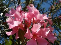 Oleander, common oleander, oleander rose laurel, pink oleander, rose bay, dog bane, scented oleander, south sea rose, sweet oleander, ceylon tree, bunga anis or bunga jepun - The oleander is a poisonous evergreen Old World shrub that is widely grown in warm countries for their clusters of white, pink, or red flowers.