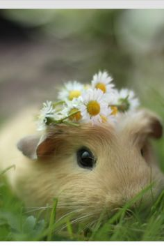 Daisies on a Guinea pig