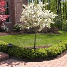 Malus sargentii 'Tina'- Sargent Tina Crabapple Zone: 4  Height: 5'  Spread: 6'  Shape: Small rounded dwarf tree